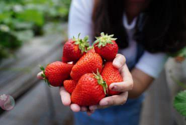 姬路觀光農園草莓吃到飽,現採現吃超新鮮(姫路ハートフル観光農園)