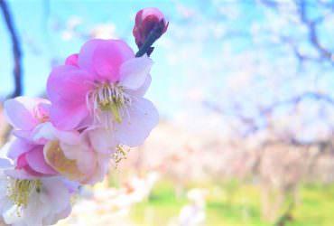 春梅綻放!日本三大名園偕楽園【2019水戶梅花季】花季日程