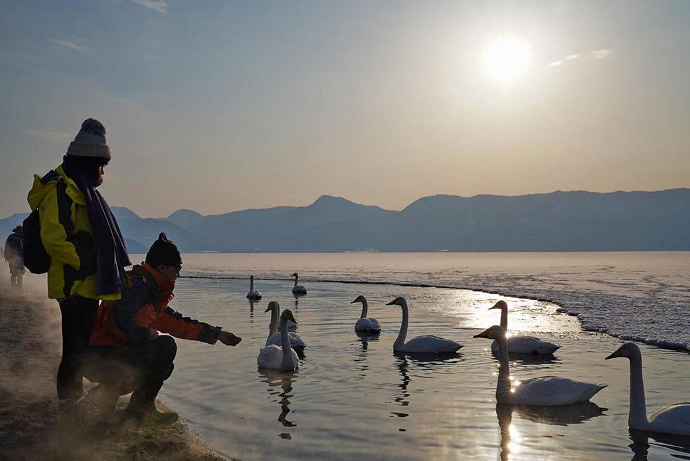 西伯利亞來的嬌客【北海道冬季限定】屈斜路湖夢幻天鵝湖