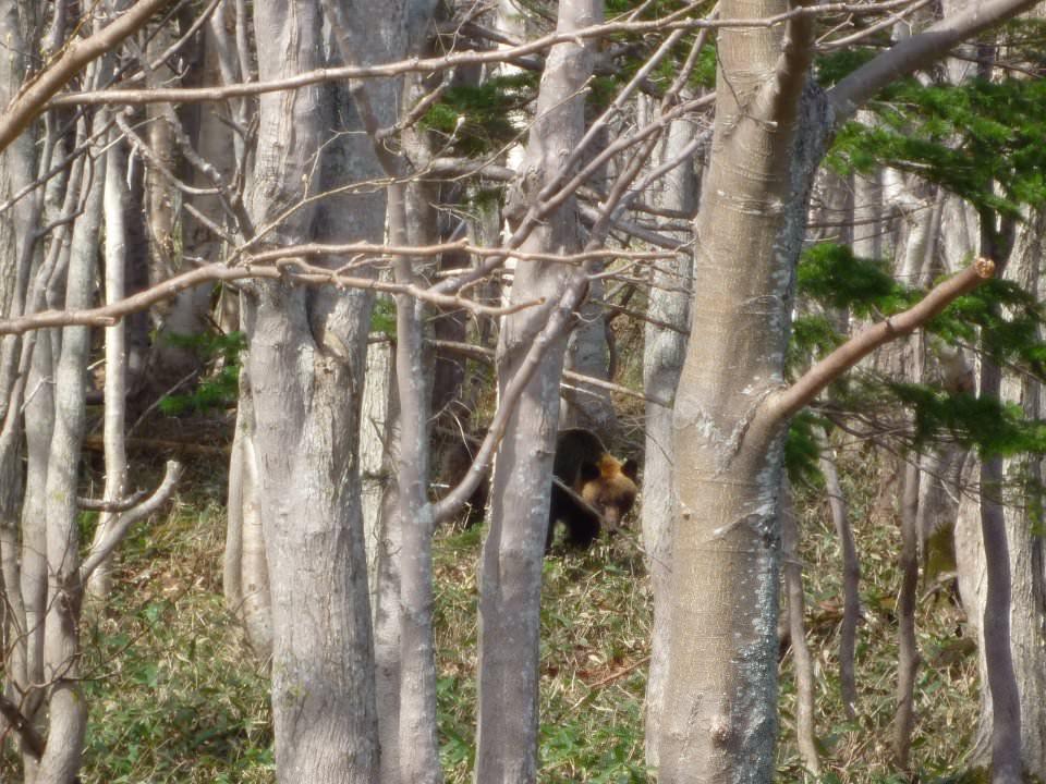 【知床半島】前往知床五湖的路上,熊出沒,注意!