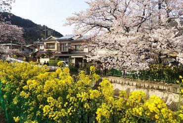 京都賞櫻景點《山科疏水》一覽櫻花與油菜花同時綻放的盛宴